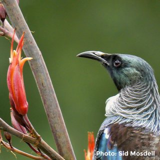 Tui - Sid Mosdell - Flickr image library